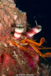 Paguroidea-Hermit Crab close up detail (Canon 60 mm , 1/... by Antonio Venturelli