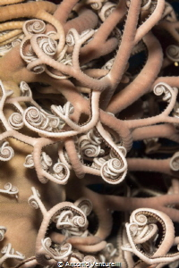 Gorgon Star ( Astrospartus mediterraneus) close up. (Can... by Antonio Venturelli