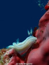 Ceratosoma sp. by Sofia Tenggrono