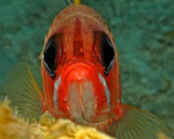 Squirrelfish, looks like he's waving with pectoral fin. G... by David Heidemann