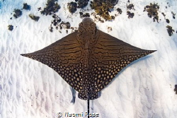 The critically endangered Ornate Eagle Ray makes an appea... by Naomi Rose