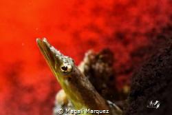 🔥🔥On fire🔥 Yellowface Pike Blenny Nikon D7200  Sea&... by Magali Marquez
