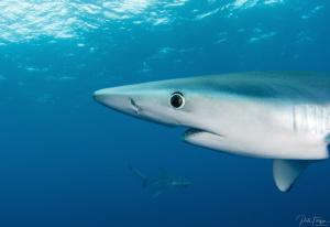 Blue sharks by Pieter Firlefyn