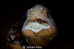 Mouthbrooding Cardinalfish by Julian Hsu
