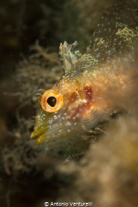 Black faced blenny ( Tripterygion delaisi) 