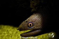 Golden morey eel with Retra snoot  Z330 with color Niko... by Magali Marquez