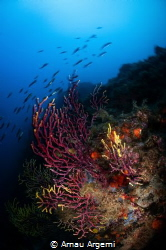 Motion blur of rainbow wrasse swimming over a gorgonian c... by Arnau Argemi