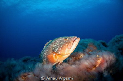 Dusky grouper posing for a shot over the volcanic rock bo... by Arnau Argemi