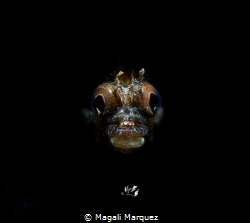 Portrait Roughhead blenny  with Retra snoot 