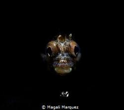 Portrait Roughhead blenny  with Retra snoot    Sea&Sea... by Magali Marquez