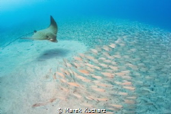 Bullray flying over the schooling fishes, waits for a goo... by Marek Kucharz