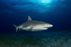 Caribbean Reef Shark cruising over the seabed, in amazing... by Daniel Lamborn