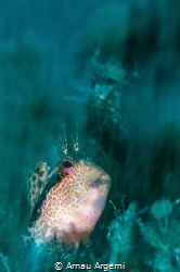 Blenny crawling through the seagrass