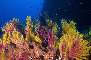 Gorgonian soft coral shotted in Scilla-Calabria-Italy