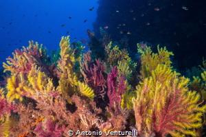 Gorgonian soft coral shotted in Scilla-Calabria-Italy (C... by Antonio Venturelli