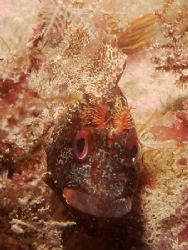 Tompot Blenny with star allures. It chased of hermites an... by Bas De Ridder