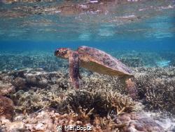 Beautiful sub-adult Green Sea Turtle cruising the lagoon ... by Mel Boots