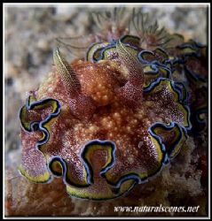 Today's lucky shot is a Girdled Glossodoris, I had never ... by Yves Antoniazzo