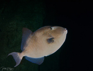 triggerfish  by Pieter Firlefyn