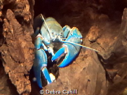 Yabby Taken at the Sydney Zoo by Debra Cahill