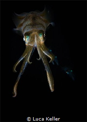 A family of squids captured during a night dive.  Slight... by Luca Keller