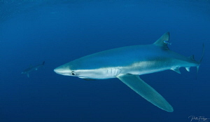 Sharks by Pieter Firlefyn