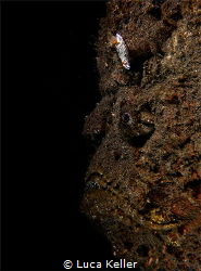 A Stonefish with a Nudibranch marching over its forehead  by Luca Keller