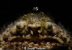 Grumpy old man 😁 Crab with Retra snoot  (Calappa gallu... by Magali Marquez