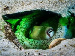 Green Lantern  Coconut Octopus - Amphioctopus marginatu... by Stefan Follows