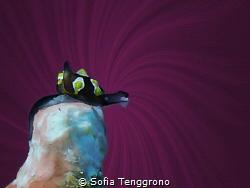 Colpodaspis thompsoni, size: 3mm by Sofia Tenggrono