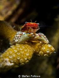 Salvage Porcelain Crab - Porcellanidae sp. Mae Haad, Th... by Stefan Follows