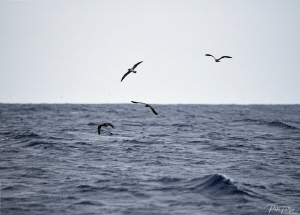 Seabirds by Pieter Firlefyn