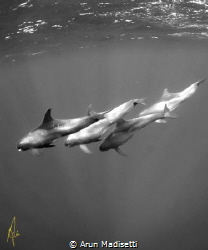False killer whales by Arun Madisetti