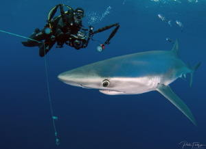 Blue shark with model by Pieter Firlefyn