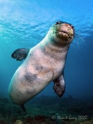 "Hawaiian Monk Seal - ""Kaimana"" by Stuart Ganz"