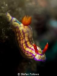 Red Baron  Nudibranch - Hypselodoris whitei  Padagbai... by Stefan Follows
