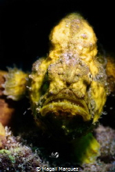 Yellow Longlure frogfish  Sea&Sea YS-D2, Z330  Retra sn... by Magali Marquez