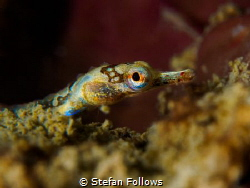 Wiggle Wiggle  Banded pipefish - Corythoichthys amplexu... by Stefan Follows