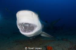 bull shark yawning, in Santa Lucia beach , la boca, nuevi... by Noel Lopez