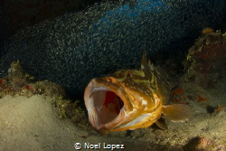 Nassau Grouper Yowning.Canon 60D.Tokina 10-17mm at 10mm.S... by Noel Lopez
