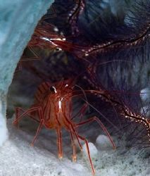 Two Peppermint Shrimp housed in a sponge. by Larissa Roorda