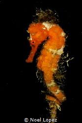 "sea horse, diving spot named ""cabezo de la Cubera"", Garde... by Noel Lopez"