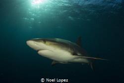 caribean reef shark, gardens of the queen, cuba. canon 60... by Noel Lopez