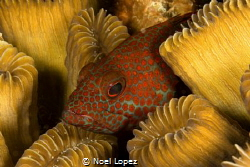 grasby resting inside a coral, Canon 5D mark 3, seam hous... by Noel Lopez