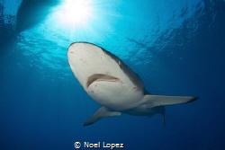 silky shark, gardens of the queen, cuba.nikon D800E, toki... by Noel Lopez