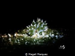 Shaun the Sheep nudibranch with Retra snoot  Costasiella... by Magali Marquez