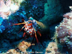 Mantis shrimp shot during my liveaboard trip to Maldives.... by Martin Genov