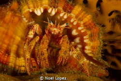 hermit crab inside a very nice conch, Canon 60D,canon len... by Noel Lopez