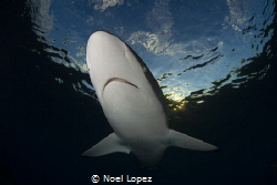 silky shark,nikon D800E,TOKINA lens 10-17mm at 15mm, two ... by Noel Lopez
