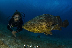 Goliath grouper with diver, Canon 60D ,tokina lens 10-17m... by Noel Lopez